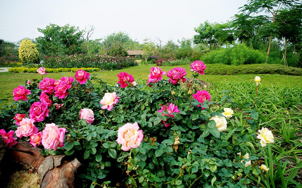 宝趣玫瑰世界 五彩缤纷的花的海洋 从化宝趣玫瑰世界位于田园风光